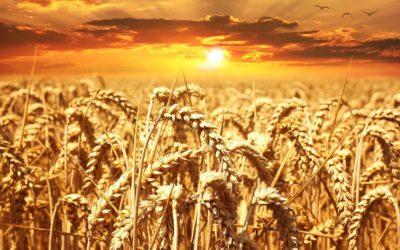 L'abbondanza del raccolto - Meditazione in Audio gratuito sulla Bibbia della Chiesa Evangelica Apostolica nel Nome di Gesù tratta da  Proverbi 14:4